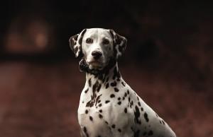 Imagen de un dálmata, raza de perro que ha generado disparidad de opiniones acerca su actitud violenta